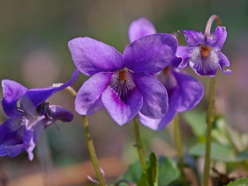 Wild Violet Weeds